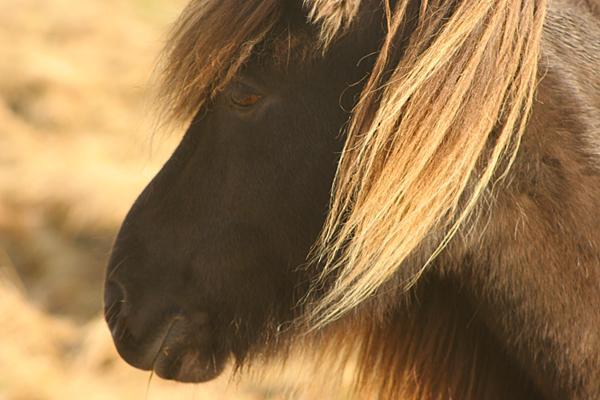 Íslenski hesturinn er falleg skepna